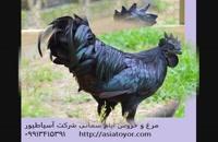 فروش تخم نطفه دار طیور زینتی /مرغ و خروس ایام سمانی