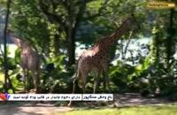 باغ وحش سنگاپور، خانه ببرهای سفید و شیرهای طلایی -بوکینگ پرشیا