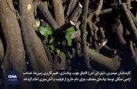 قاچاق چوب، درختان شمال را به نابودی کشانده است