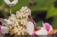 پنج توانایی شگفتانگیز زنبور عسل