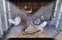 فروش تخم نطفه دار تمام پرندگان و طیور زینتی