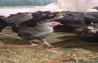 مرغ بلک استار و پلیموت راک