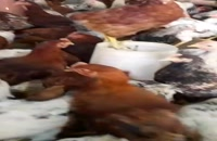 فروش مرغ 4 ماهه بومی گلپایگان09131007689
