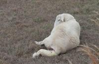 فیلم زایمان گوسفند زنده - زایمان گوسفند دو قلو زا 09120382840