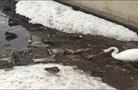 کلیپ زیبا و دیدنی،جمع کردن آشغال یک پرنده در رودخانه