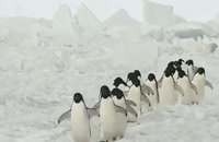 سلام. روز بخیر. راه رفتن بامزهٔ پنگوئن های قطبی را ببینید.