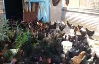 فروش مرغ بلک استار تخمگذار6 ماهه 09121986651