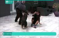 آموزش تربیت سگ نگهبان برای حمله کردن