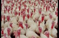 پرورش بوقلمون تضمینی با خرید تخم نطفه دار