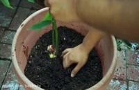 کاشت و پرورش زنجبیل