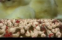 فروش جوجه یک روزه تخمگذار فروش تخم مرغ