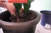 آموزش صحیح عوض کردن گلدان گل مار