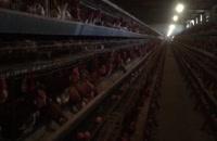 فروش مرغ تخمگذارلوهمن 8ماهه 09121986651