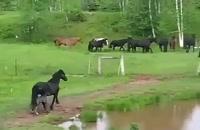 جولان اسب های آزاد ، در دشت سرسبز کانادا.