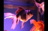 آموزش نگهداری ماهی قرمز | فیلم آموزشی