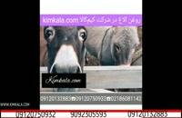 خواص شیر الاغ   خرید روغن الاغ   فواید عنبرنسا   خواص دارویی عنبرنسا   درمان درد سیاتیک   09120132883