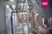 زجرکش کردن خوکها در کشتارگاه