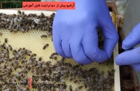 تشخیص ملکه زنبور عسل