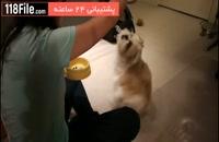 چگونه یک توله سگ شیتزو رو تربیت  کنیم
