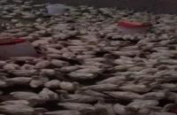 فروش بوقلمون بیوتی 6 باوزن 700 گرم کامل 09121986651