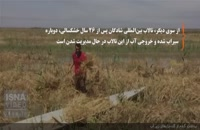برداشت گندم از گندمزارهای زیر آب