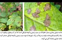 Infinito | سم قارچ کش اصل Bayer | ویژه مزارع سیب زمینی
