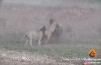حمله و شکار گاو وحشی توسط شیر ها