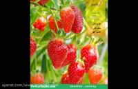 Fenomenal | قارچ کش تضمینی برای افزایش کیفیت و بازدهی مزارع توت فرنگی