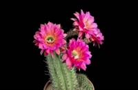 بازشدن گل های زیبای کاکتوس را ببینید.