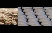 فروش جوجه یک روزه تجارتی فروش تخم  مرغ