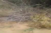 حمله ملخهای صحرایی به جنوب ایران
