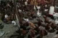????فروش مرغ وخروس ٣ماهه درجه يك گلپايگاني.09121986651 _ 09123968671