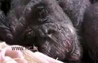 آخرین لحظات تاثربرانگیز زندگی یک شامپانزه